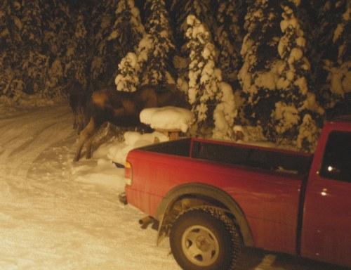 Neighbor moose, an early encounter